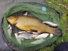 Kelvin Willis | 4lb+ Tench and Roach | Rook Hall